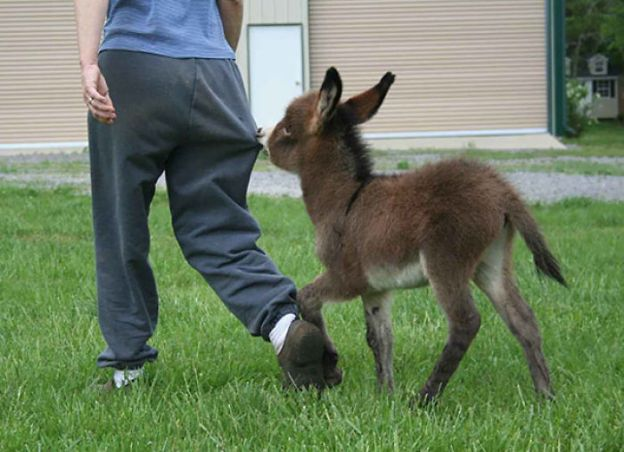 cute-miniature-baby-donkeys-17-5aaa2a9e6596f__700 These 25+ Cute Baby Donkeys Are Everything You Need To See Today Design Random