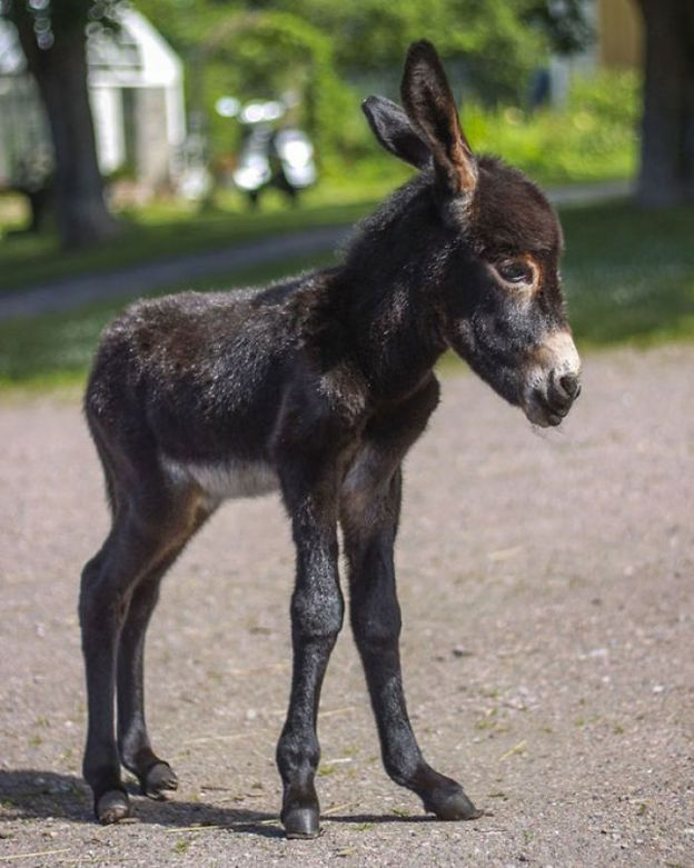 cute-miniature-baby-donkeys-23-5aabdc7b1f7b4__700 These 25+ Cute Baby Donkeys Are Everything You Need To See Today Design Random