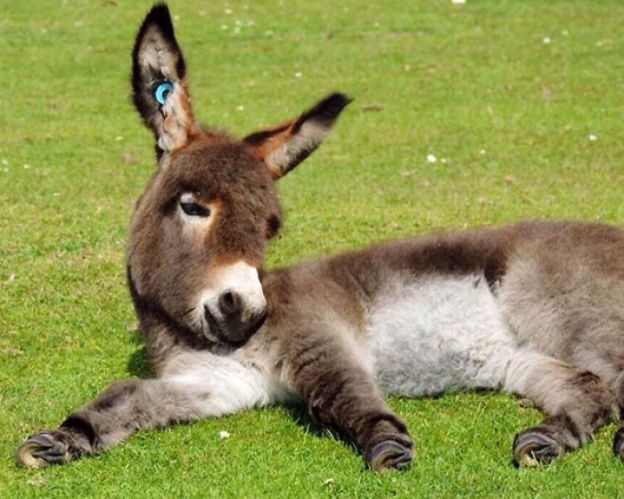 cute-miniature-baby-donkeys-26-5aaa688649037__700 These 25+ Cute Baby Donkeys Are Everything You Need To See Today Design Random