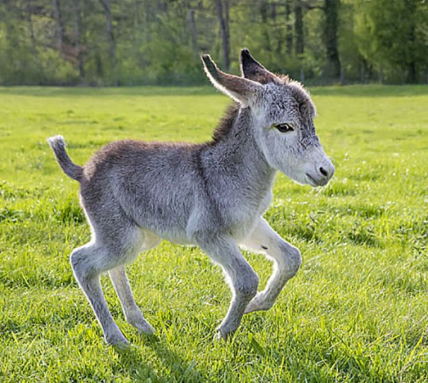 cute-miniature-baby-donkeys-316-5aabeeb00b9a2__700 These 25+ Cute Baby Donkeys Are Everything You Need To See Today Design Random
