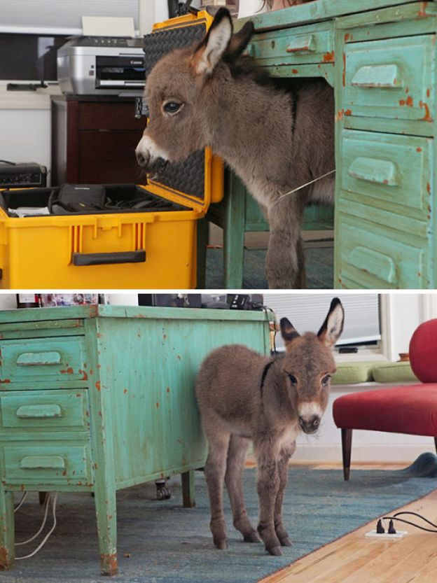 cute-miniature-baby-donkeys-44-5aaaa54ea9a28__700 These 25+ Cute Baby Donkeys Are Everything You Need To See Today Design Random