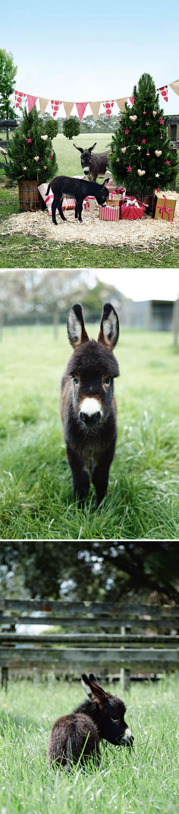 cute-miniature-baby-donkeys-46-5aabe1c979de8__700 These 25+ Cute Baby Donkeys Are Everything You Need To See Today Design Random