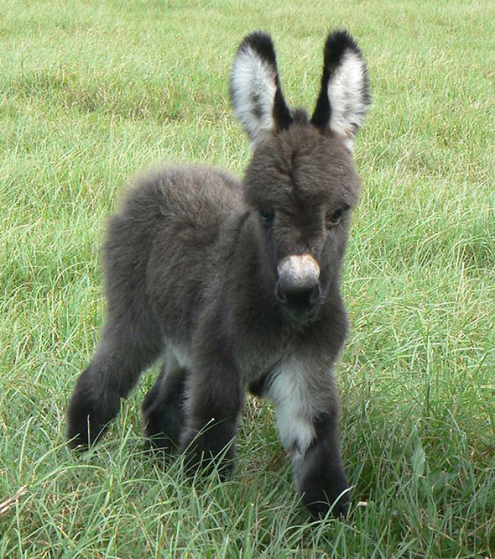 cute-miniature-baby-donkeys-9-5aa91f5e05802__700 These 25+ Cute Baby Donkeys Are Everything You Need To See Today Design Random
