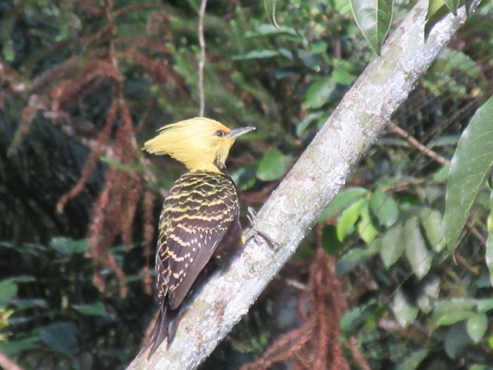 A Blond-Crested Woodpecker!