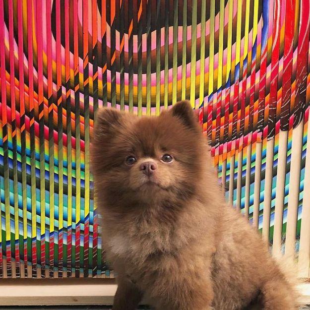 "Bi2iGfSH5N7-png__700 Breeder Abandoned 5-Month-Old Pomeranian Because He Was ""Too Big"", They Probably Regret It Now Design Random"