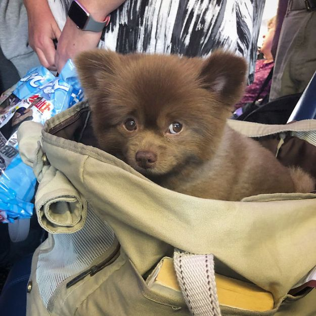 """BlgsFrEn0hA-png__700 Breeder Abandoned 5-Month-Old Pomeranian Because He Was """"Too Big"""", They Probably Regret It Now Design Random"""