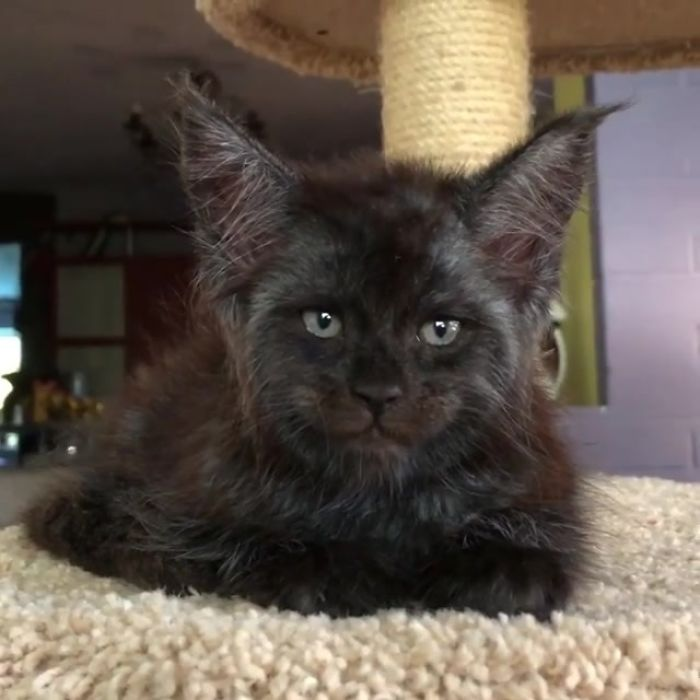 Cat-becomes-popular-on-the-internet-for-resembling-a-human-5b42d63a022af__700 This Cat With A Human-Like Face Is Going Viral, And We Can't Unsee It Design Random