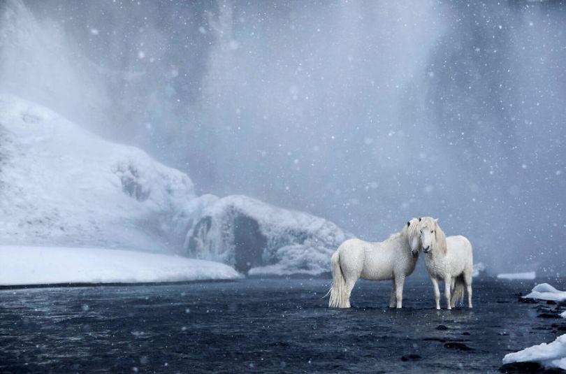 animal photography icelandic horses in the realm of legends drew doggett 14 5b5afbe934ad7  880 - Encantadora série de fotografias de Drew Doggett e os cavalos islandeses