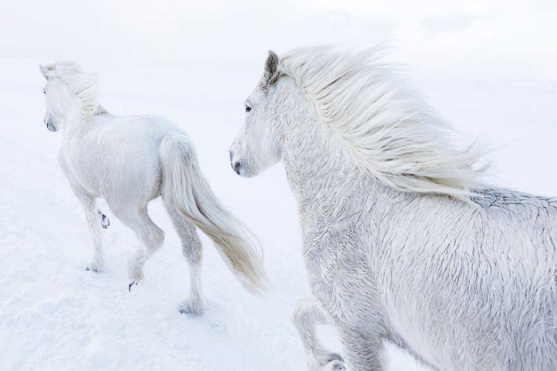 animal photography icelandic horses in the realm of legends drew doggett 18 5b5afbf13ebb1  880 - Encantadora série de fotografias de Drew Doggett e os cavalos islandeses