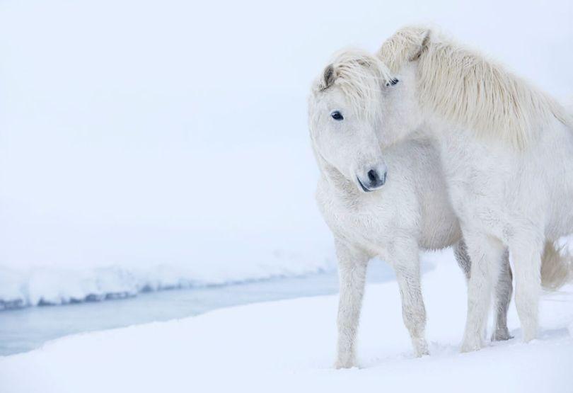 animal photography icelandic horses in the realm of legends drew doggett 37 5b5afc19eb4c6  880 - Encantadora série de fotografias de Drew Doggett e os cavalos islandeses