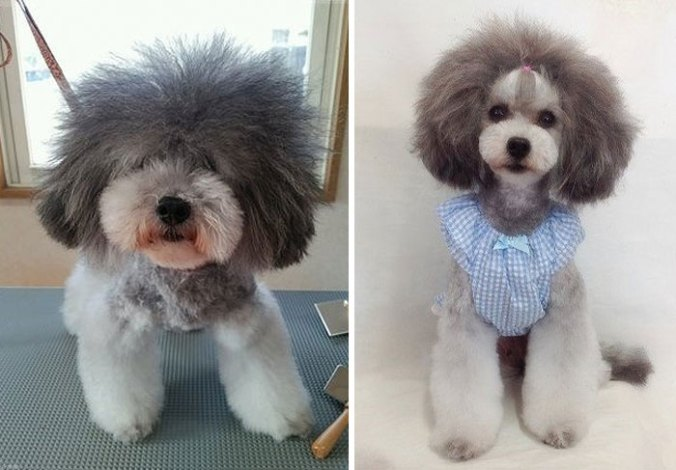dog-grooming-transformations-yoriko-hamachiyo-japan-34_taisytas