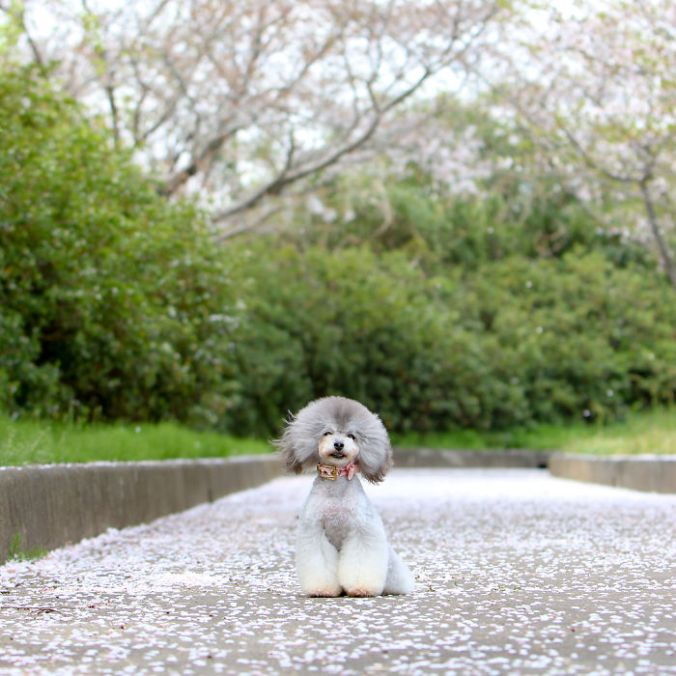 dog-grooming-transformations-yoriko-hamachiyo-japan-54