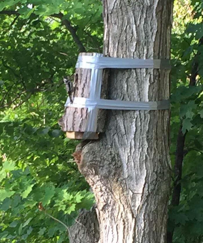 Se encontró un árbol caído con nido de aceituna adentro. Sección con nido fue cortada y grabada a un árbol cercano, exitosamente devolviendo a la madre