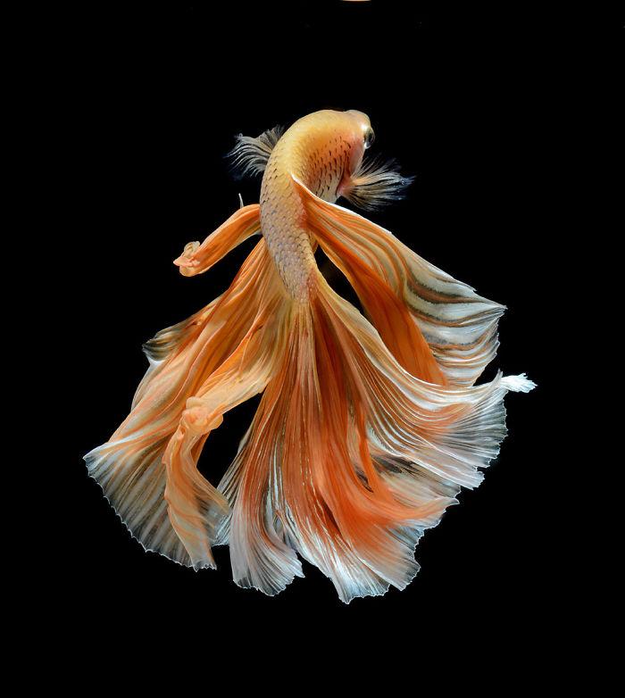 El elegante Y Poses fantásticas de peces de acuario capturados por un fotógrafo tailandés
