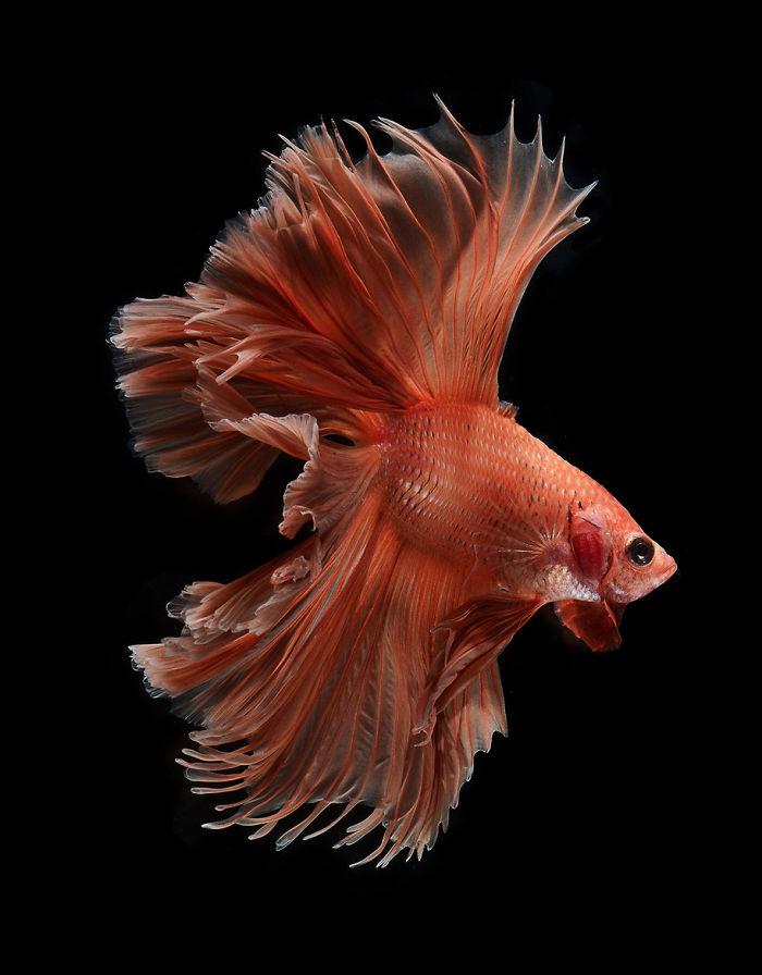 El elegante Y Fantásticas posturas de peces de acuario capturadas por un fotógrafo tailandés