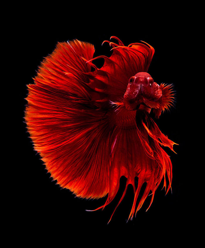 Poses elegantes y fantásticas de peces de acuario capturados por un fotógrafo tailandés