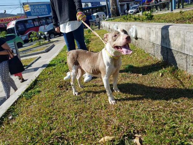 brutally-kept-short-chain-dog-rescued-costa-rica9-5b752298ee6db__700 Dog Kept On Such A Short Chain She Could Never Rest Her Head Is Finally Rescued And The After Pics Will Bring You Joy Design Random