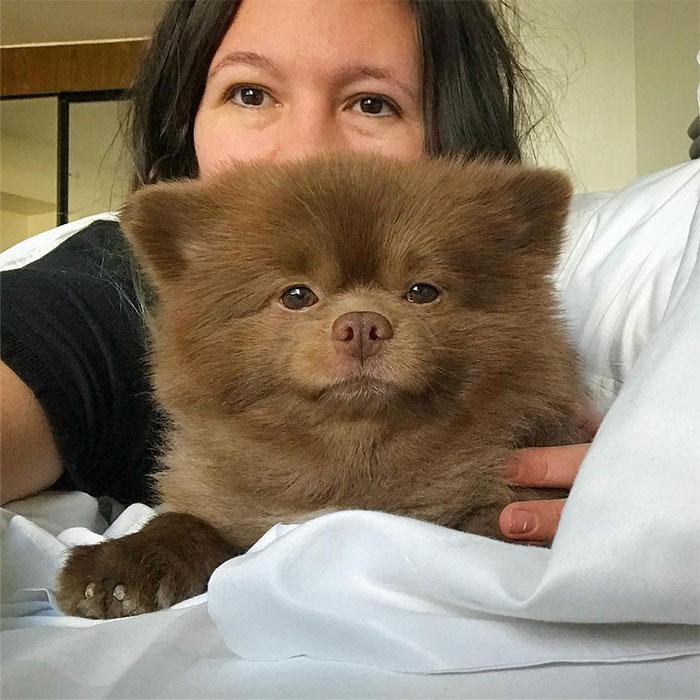 dog-cute-bertram-the-pomeranian-bertiebertthepom-4