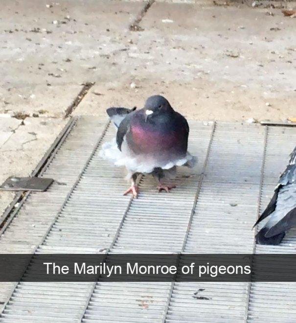 holub, Marilyn Monroe, Snapchat, zvierata, vtipne, momenty, zvierat