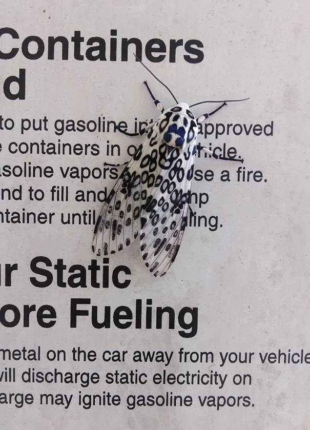 This Moth Picked The Perfect Urban Camouflage