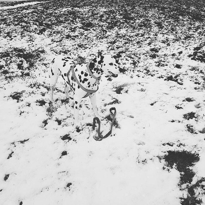 Can You Spot Him?? Lost Dalmatian At The Top Of Knocknarea, Sligo