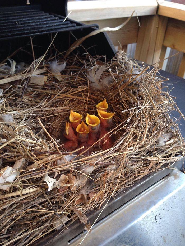 Abrió una barbacoa por primera vez esta primavera y encontró algunas alas hambrientas