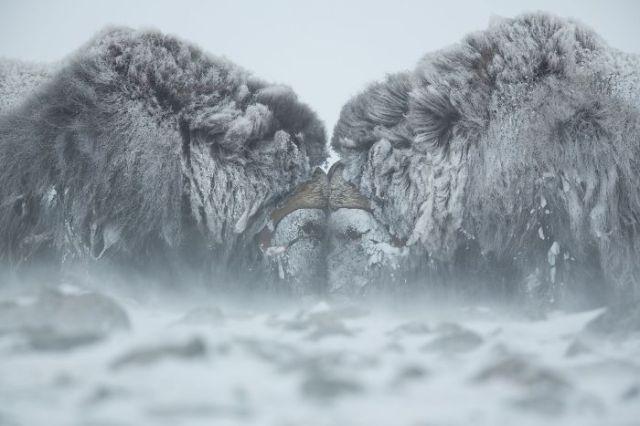 Duelo en la nieve (Animals In Their Environment)