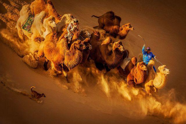 Camellos en el desierto, Mongolia (2º en General Color)