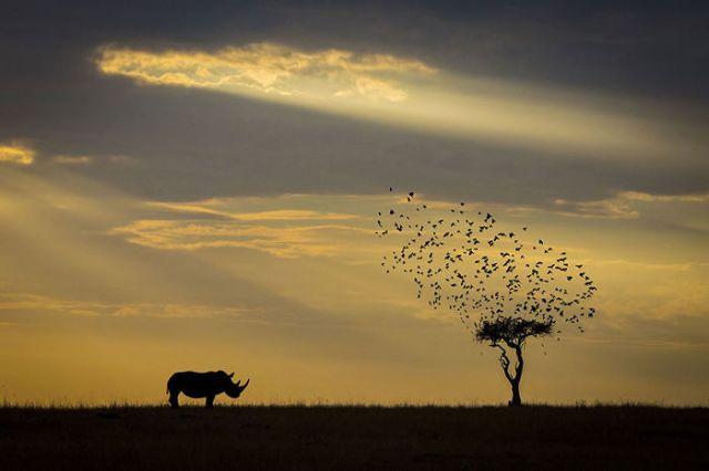 Silueta de rinoceronte, Kenia ( Animals In Their Environment)