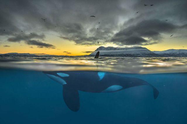 Orca en la noche polar, Noruega (Animals In Their Environment)