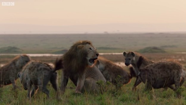 42-5c0a32c37597e__700 Lion Is Losing Fight Against 20 Hyenas, Bro Hears His Cries And Rushes To Save Him Design Random