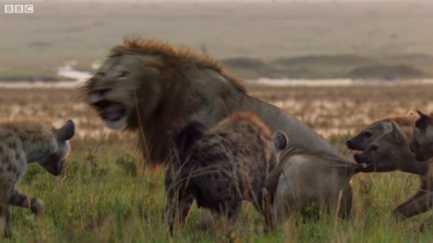 49-5c0a32d0788a6__700 Lion Is Losing Fight Against 20 Hyenas, Bro Hears His Cries And Rushes To Save Him Design Random