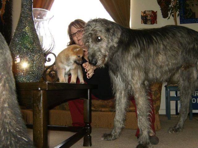 Mi cachorro de Shiba inu junto al lobero de mi madre