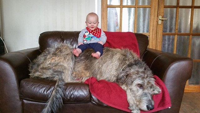 Brody el lobero (junto a un bebé para comparar)