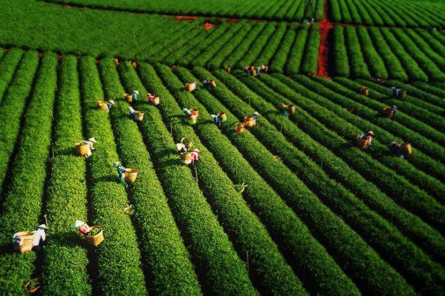 Recolectando hojas de té, por Tuan Nguyen