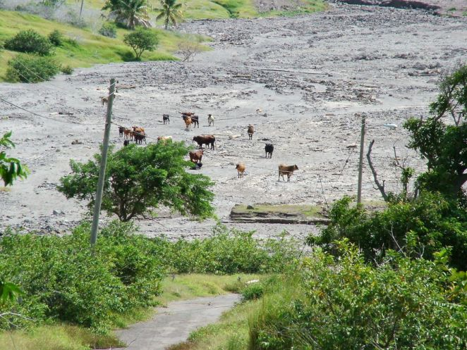 Wild Cattle On The Buried Road To Lee's