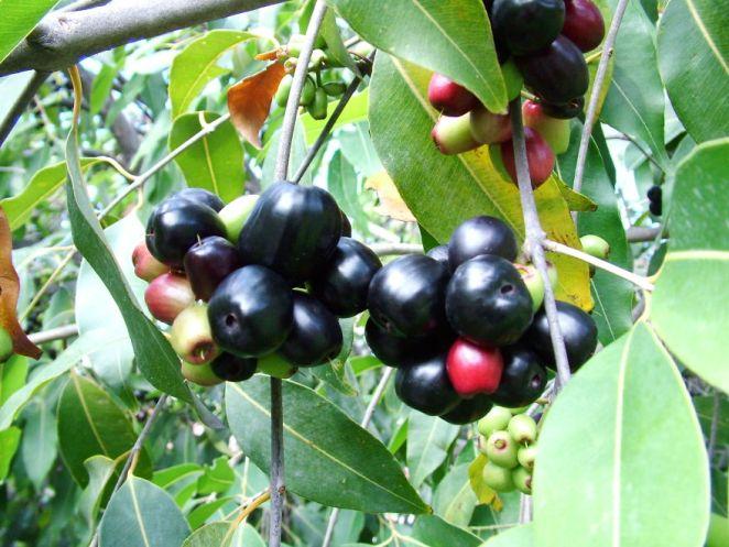 Jamun Fruit Near Cork Hill, Wonderful Flavor!
