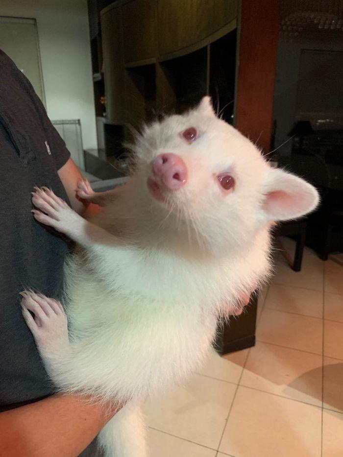Here's What An Albino Raccoon Looks Like