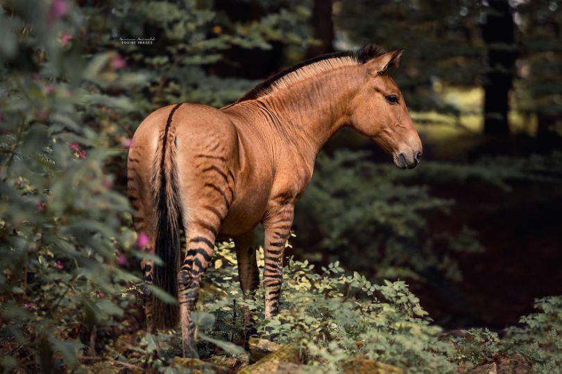 carinamaiwald zorse 3119 5d0b35960f60b  880 - Conheça um híbrido de Zebra com Égua