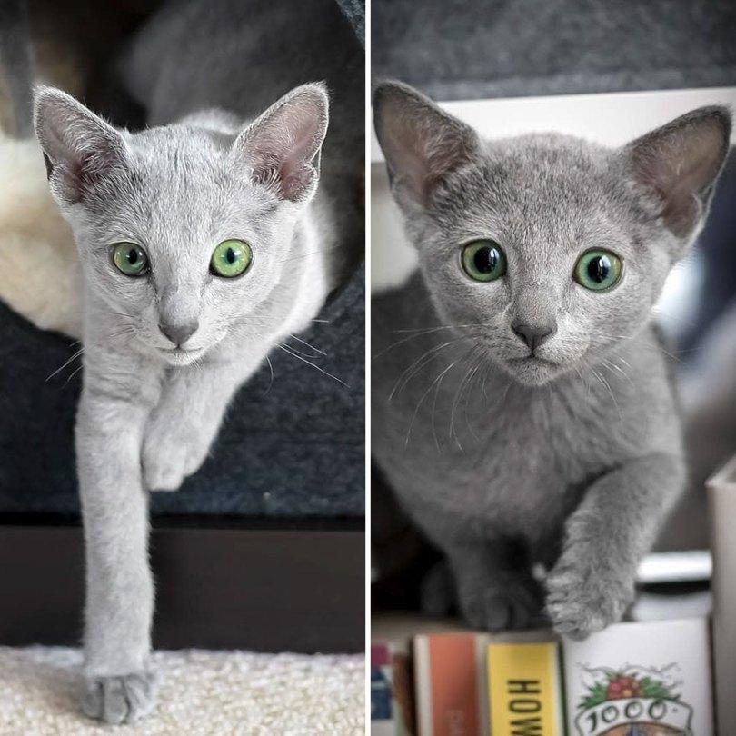 Russian blue cats share with over 122000 followers on instagram their mesmerizing green eyes 5d3822b3251a2  880 - Olhar felino: Gatos lindos têm olhos hipnotizantes