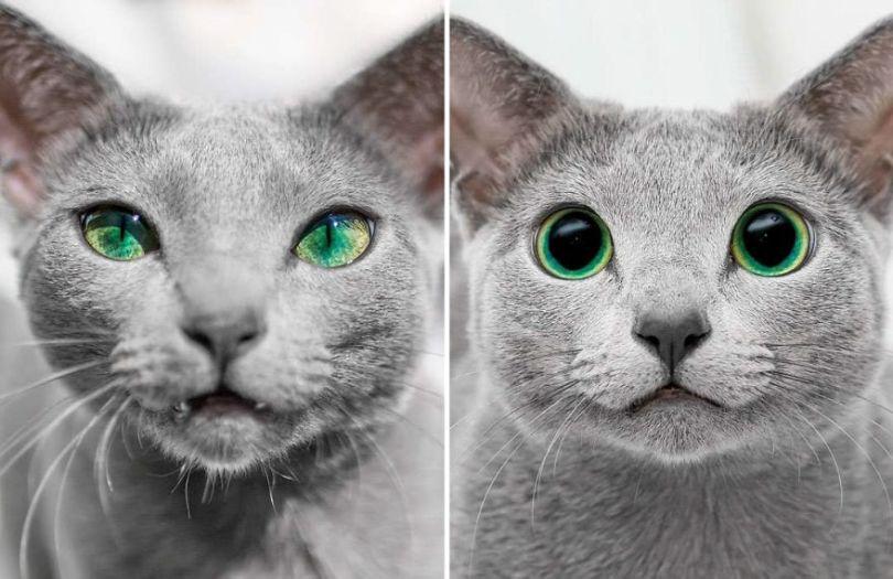 Russian blue cats share with over 122000 followers on instagram their mesmerizing green eyes 5d382704eb984  880 - Olhar felino: Gatos lindos têm olhos hipnotizantes