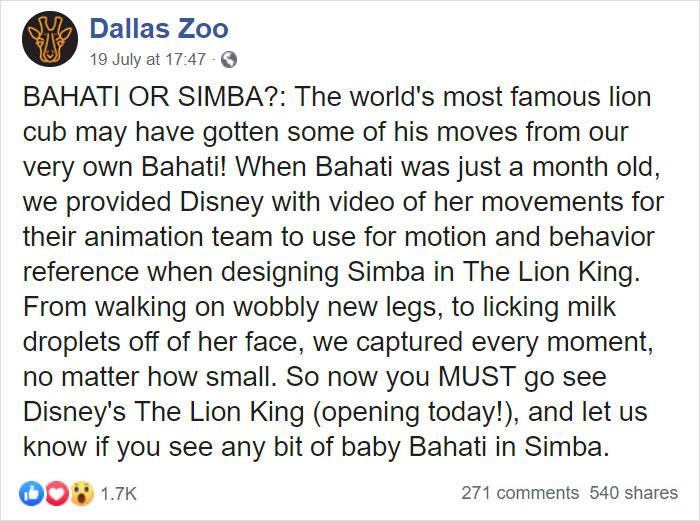 lion king live action baby simba bahati dallas zoo 1 - Conheça a Leoa de verdade que deu origem ao pequeno Simba