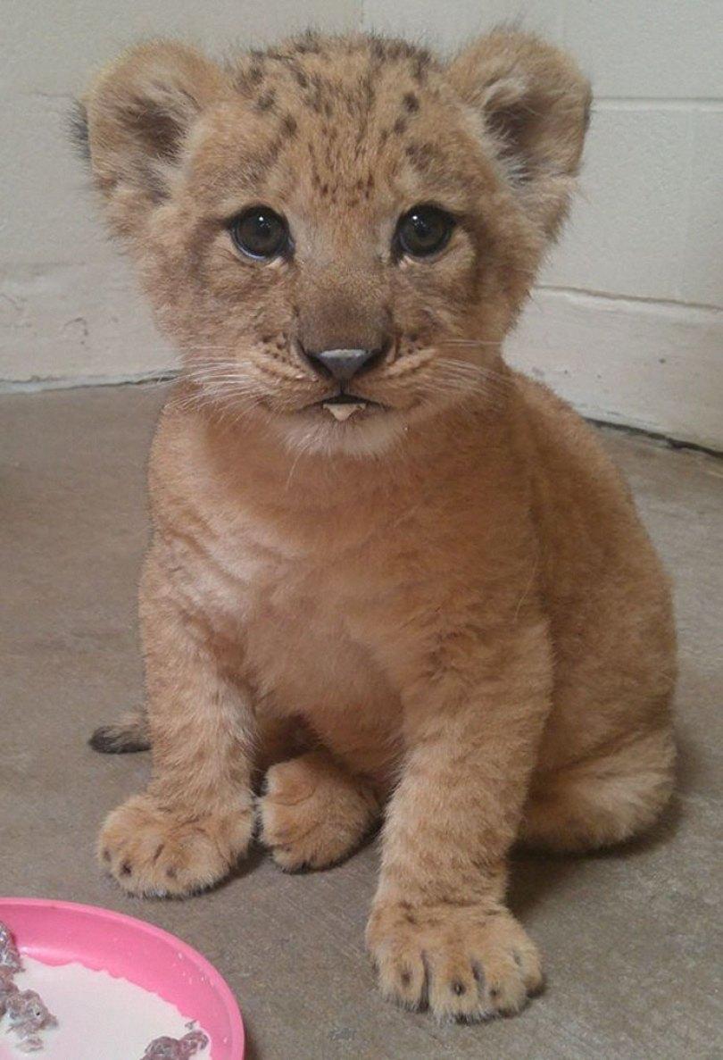 lion king live action baby simba bahati dallas zoo 2 5d37ffcae32f9  700 - Conheça a Leoa de verdade que deu origem ao pequeno Simba