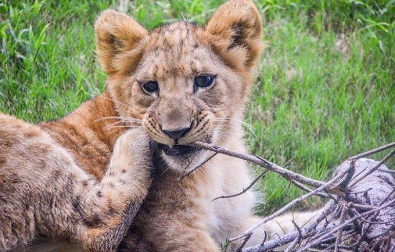 lion king live action baby simba bahati dallas zoo 3 6 5d37ffcfed338  700 - Conheça a Leoa de verdade que deu origem ao pequeno Simba