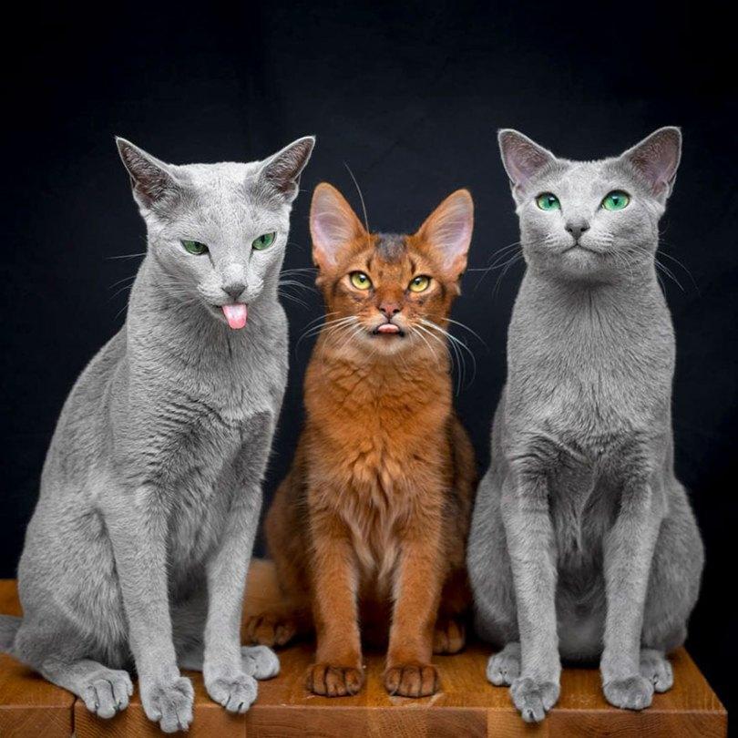 russian blue cats beautiful eyes xafiandauri 1 - Olhar felino: Gatos lindos têm olhos hipnotizantes