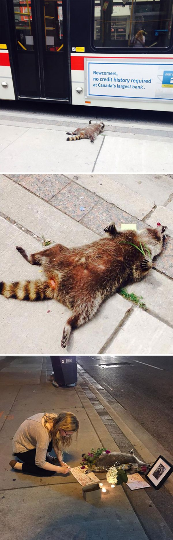 People In Toronto Made Memorial For Dead Raccoon After City Forgot To Pick It Up For 12 Hrs