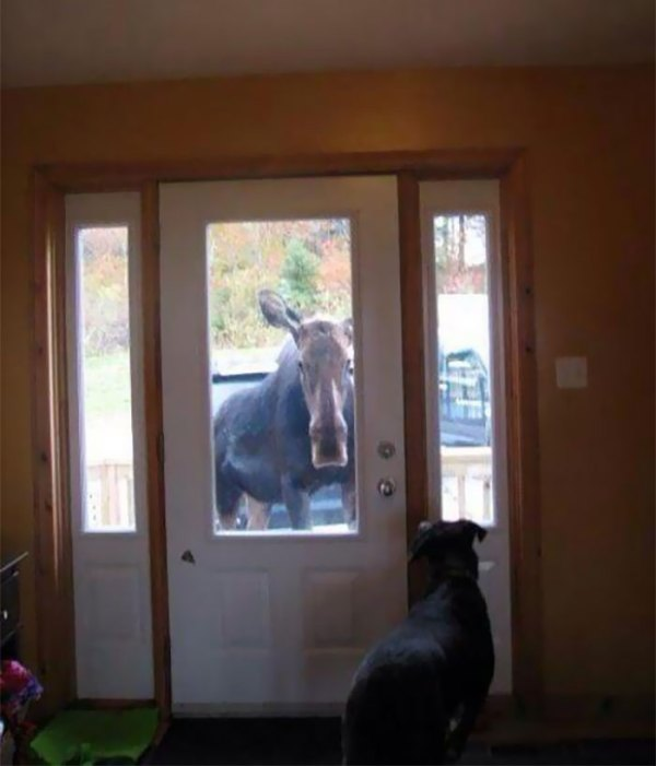 This Moose Literally Followed Me Home
