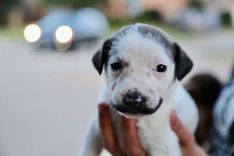 handlebar mustache puppy salvador dolly heartsandbonesrescue 12 5d441d841f26f  700 - Salvador Dolly o cachorro com bigode que conquistou a Internet