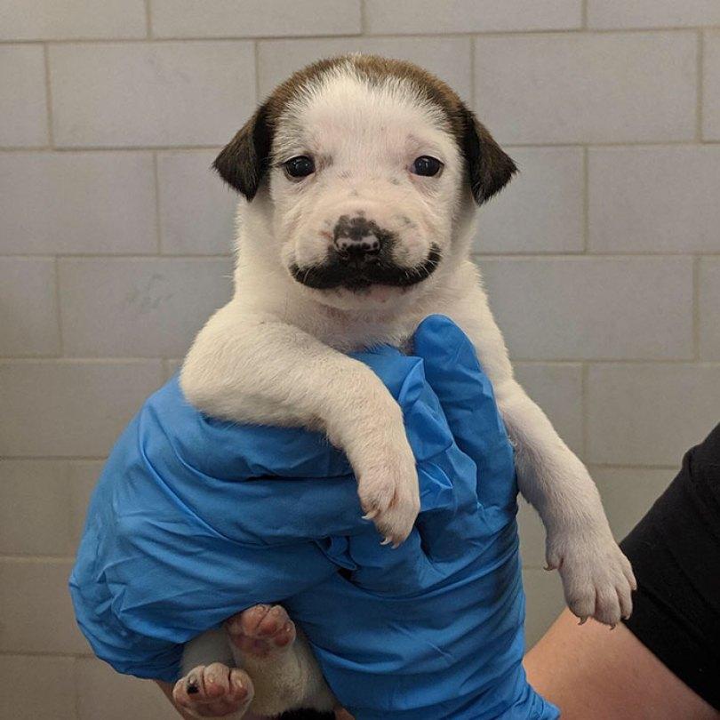 handlebar mustache puppy salvador dolly heartsandbonesrescue 5 5d441d7624543  700 - Salvador Dolly o cachorro com bigode que conquistou a Internet
