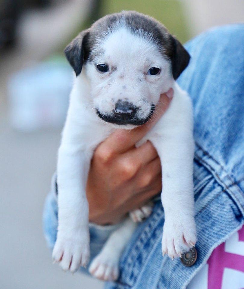 handlebar mustache puppy salvador dolly heartsandbonesrescue 7 5d441d7a294de  700 - Salvador Dolly o cachorro com bigode que conquistou a Internet